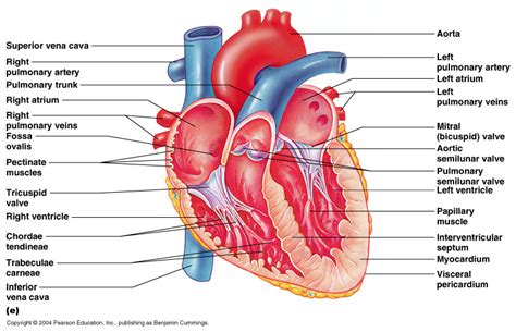 sectional anatomy of the heart class blog bio 202 heart anatomy