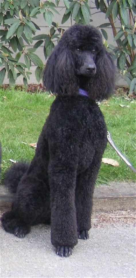 standard poodle face hair cuts black standard poodle haircuts www pixshark com images