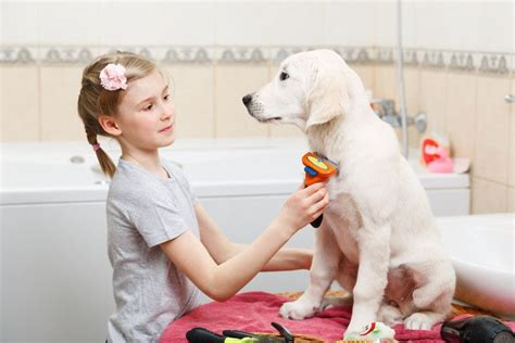 Do Labradors Shed by How Often Do Labradors Shed And How To Minimize It