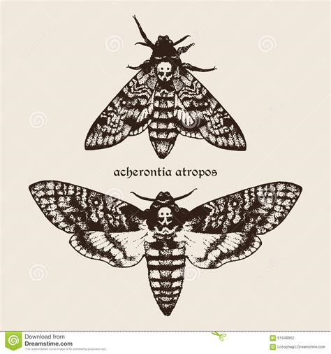 vector hand drawn deaths head hawk moths illustration