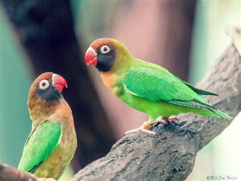 gambar burung lovebird keren