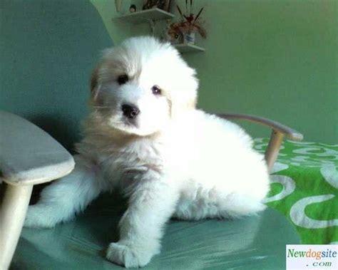 white tibetan mastiff puppies for sale 124 best images about tibetan mastiff on tibetan mastiff mastiff dogs