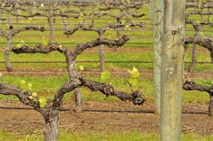 tips for pruning grapevines