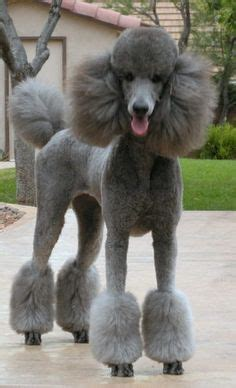 poodle with plain hair cut 1000 images about poodles for the love of cinnamon