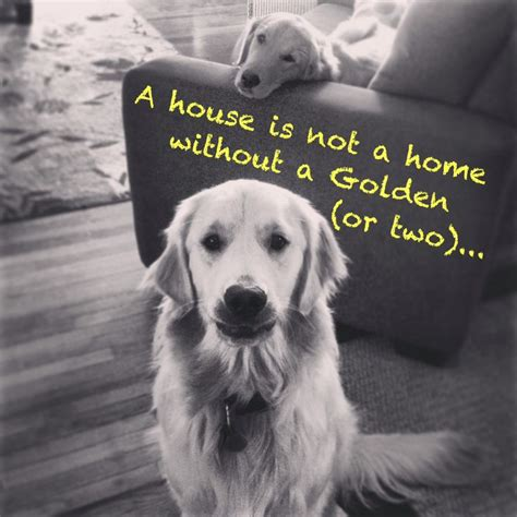 golden retriever exercise needs 25 best ideas about puppy on
