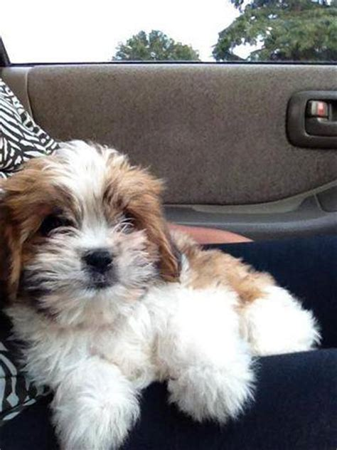 shih tzu x cavalier cavalier shih tzu x pomeranian for sale adoption from bathurst new breeds picture