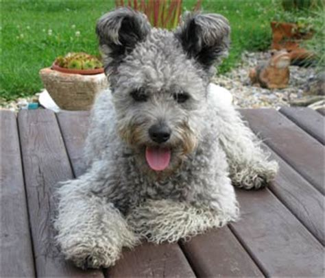 pumi puppies breeds to breeds picture