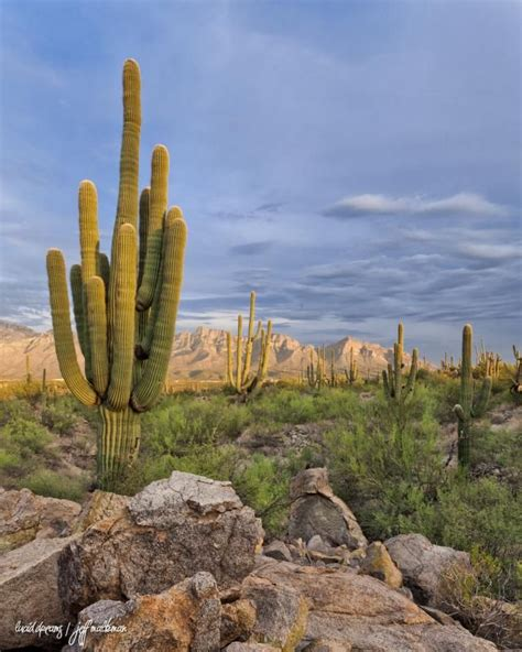 first fallout nears for arizona s refusal to comply with 484 best images about saguaro np american national parks