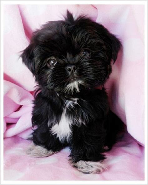 white teacup shih tzu puppies black teacup shih tzu puppies zoe fans baby animals the o