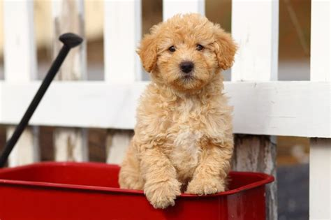 mini goldendoodles vancouver island best 25 white goldendoodle ideas on golden