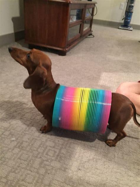costume for dachshund best 25 dachshund costumes ideas on dachshund costume wiener