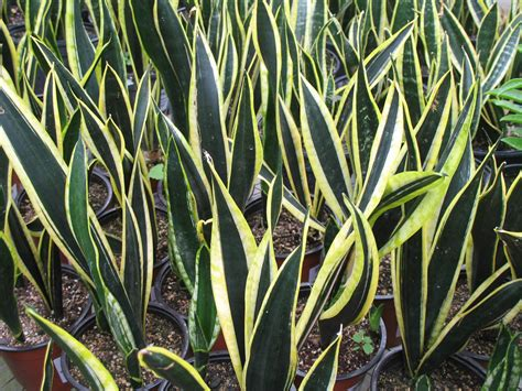 sansevieria trifasciata sansevieria trifasciata gold extreme for the home