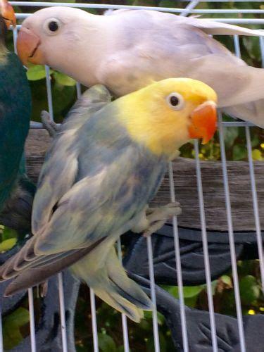 lovebird birds for sale homestead fl 188264 petzlover