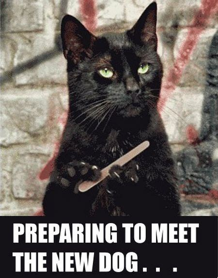 Funny Black Cat Memes - 31 preparing to meet the new dog cat meme pmslweb