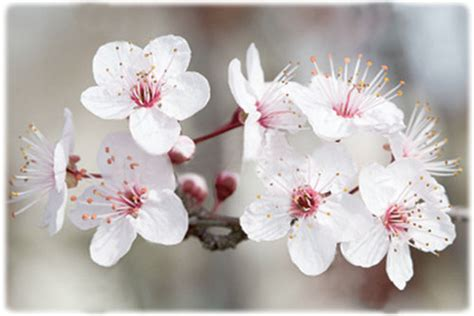 fiori di mandorle mga cosmetici communication 187 2012 187 marzo