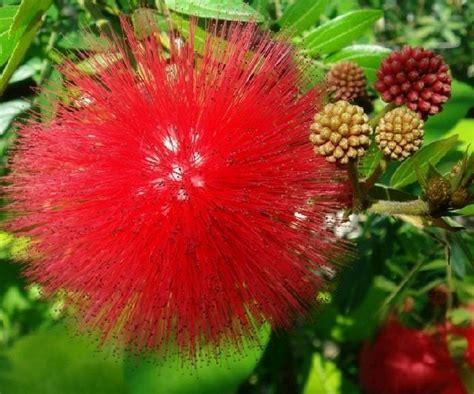 Jual Bibit Bunga Kaliandra jual tanaman kaliandra merah bibit