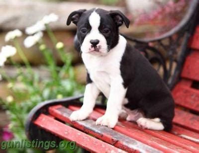 boston terrier puppies for sale in indiana boston terrier puppies indiana