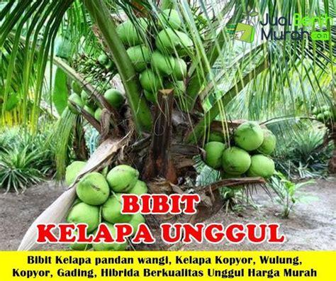 Bibit Kelapa Wulung Hibrida jual bibit kelapa berkualitas unggul jualbenihmurah