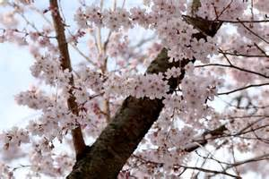 Flowers In Chinese Culture - sakura flower meaning flower meaning