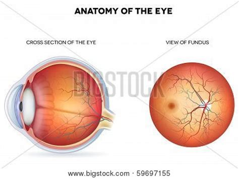 sectional anatomy of the eye oculist stock photos royalty free oculist images