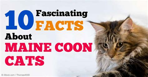 10 Fascinating Facts About Maine Coon Cats
