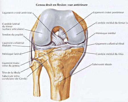 Tiroir Du Genou by Ligaments Crois 233 Ant 233 Rieur Et Crois 233 Post 233 Rieur Lca Lcp