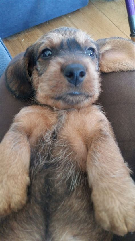 standard wire haired dachshund puppies for sale standard wirehaired dachshunds rye east sussex pets4homes