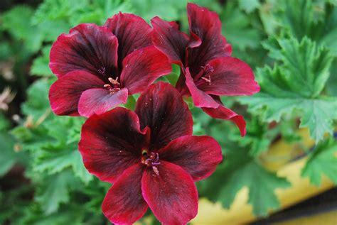imagenes de jardines con geranios fotos de flores flores de geranios de varios colores