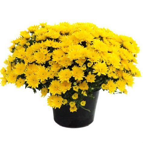 jual bibit tanaman hidup bunga krisan kuning yellow