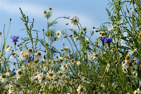 Blue Flower Crop free images blossom field meadow prairie flower summer crop botany agriculture flora