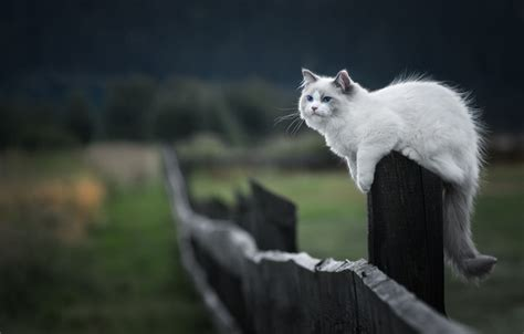 Cats Sitting On A Fence Wishing Iphone Semua Hp wallpaper cat handsome post sitting ragdoll field fluffy the fence wooden nature