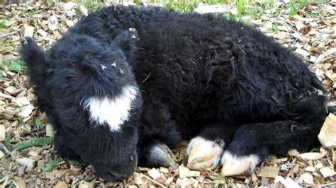 baby yaks   backs baby animal zoo
