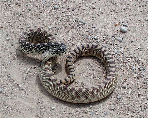 can a their colorado rattlesnakes what sportsmen should colorado outdoors