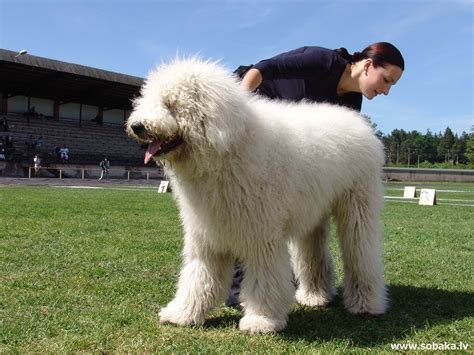 large haired dogs large breeds hair