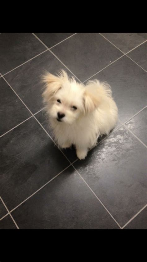 lhasa pomeranian puppies lhasa apso cross pomeranian scarborough pets4homes