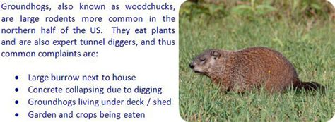 how to kill groundhogs woodchucks