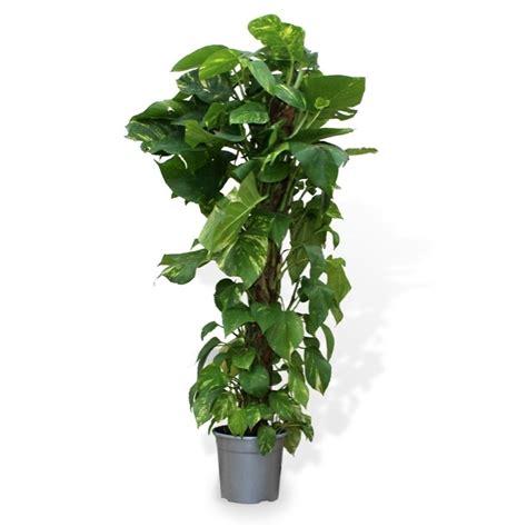 plantas altas de interior potho planta verde de interior verdecora