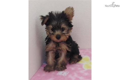 black yorkie terrier terrier yorkie puppy for sale near dallas fort worth 6b904fdc 1a81