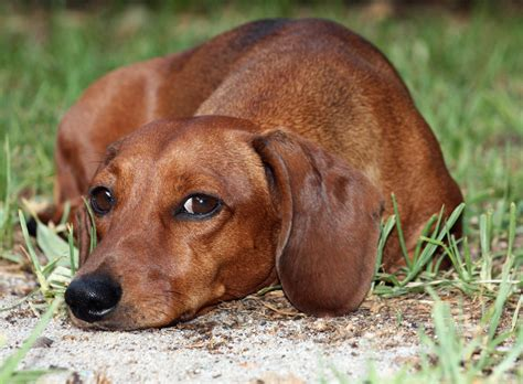 weiner puppy dachshund puppies rescue pictures information temperament characteristics