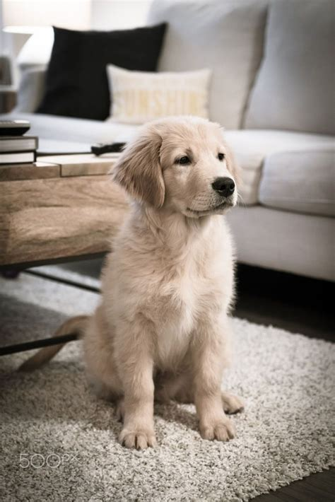 where do golden retrievers like to be petted best 25 golden retriever names ideas on pups golden retriever