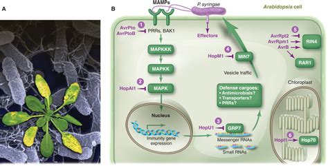 Pattern Recognition Receptors In Plants And Effectors In Microbial Pathogens | innate immunity in plants an arms race between pattern