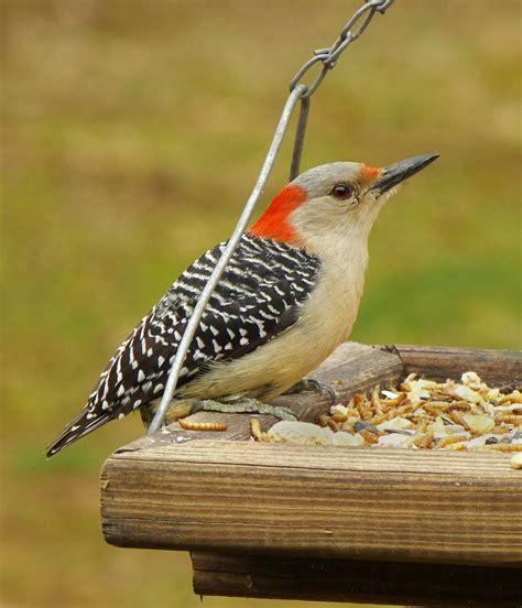 female red bellieid woodpecker at a tray feeder feederwatch