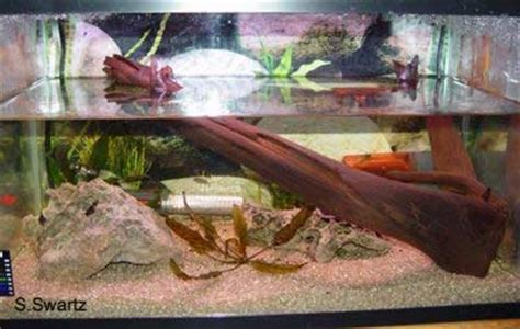 red claw crab red clawed crab care freshwater crab red claw crab red clawed crab care freshwater crab