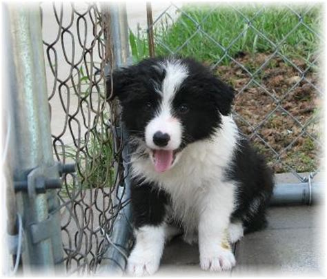 border collie puppies for sale in ohio border collie puppies for sale borderfame howlin at the moon
