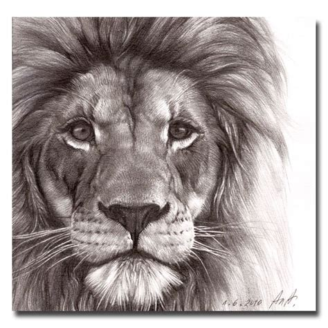 lion print 1000 images about lion tattoo on pinterest lion sketch