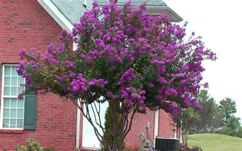 cherry tree zone 9b catawba crape myrtle grows in zone 6a 183 10 176 to 5 176 f through zone 9b 183 25 176 to 30 176 f sun