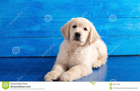 golden retriever with blue golden retriever puppy on blue wood stock photo image 52214709