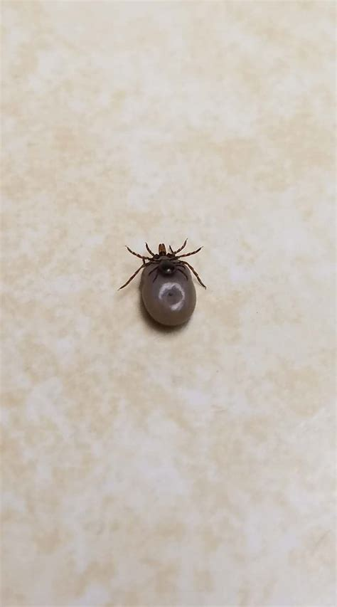 found tick on i found a tick on another tick rebrn