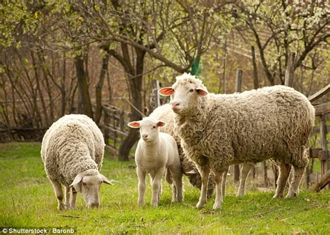 Look At That Farm Animals 8 hour about sheep called baa baa land daily mail