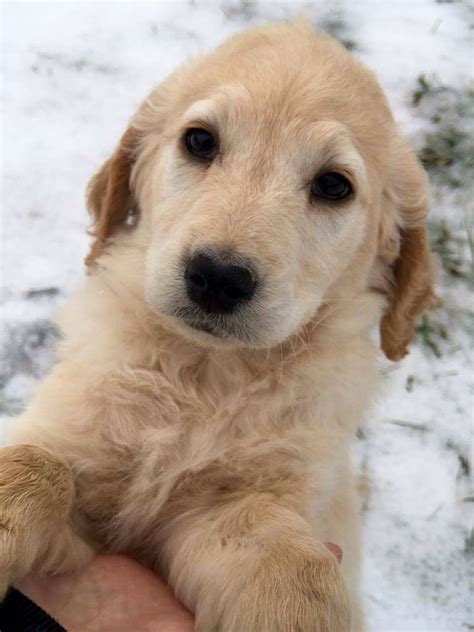golden retriever breeders in ny golden retriever puppies for sale in upstate ny photo